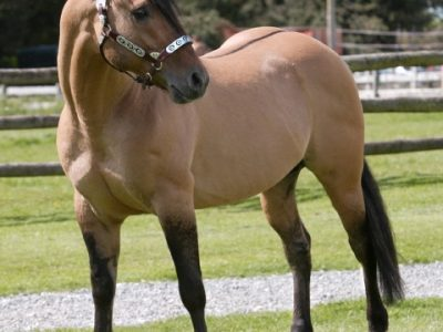 american-quarter-horse-at-the-aI-stud-farm-whitchurch-shropshire