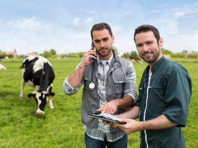 two-vets-working-in-a-field-with-cows